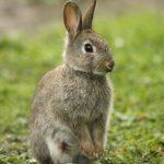 معلومات عن الارنب البري المهدد بالانقراض