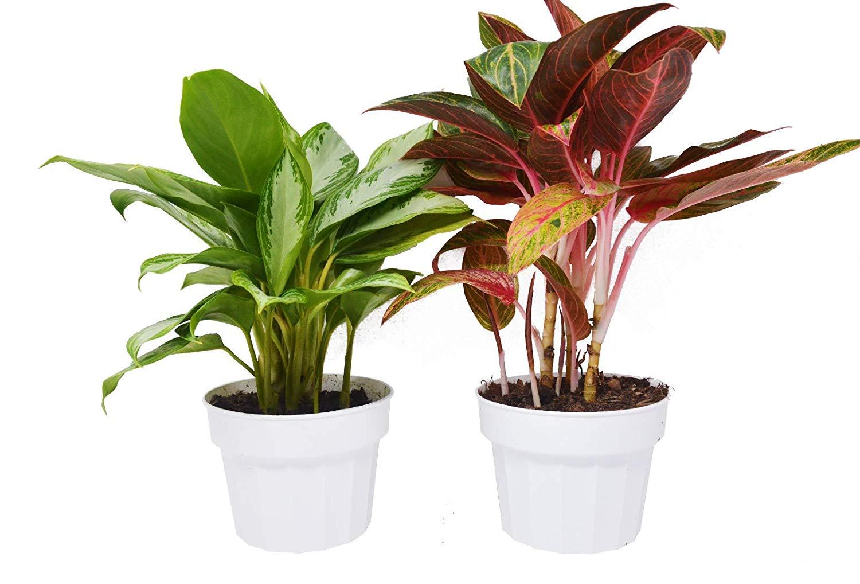 نباتات منزلية لا تحتاج للشمس المرسال