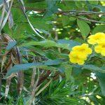 انواع شجرة التيكوما و طريقة و موعد زراعتها