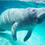 معلومات عن بقر البحر