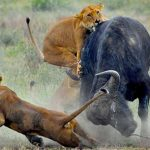 بحث عن التنافس بين الحيوانات