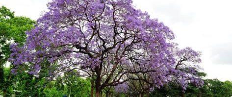 شجرة الجاكرندا %D8%B4%D8%AC%D8%B1%D8%A9-%D8%A7%D9%84%D8%AC%D8%A7%D9%83%D8%B1%D9%86%D8%AF%D8%A7-473x198