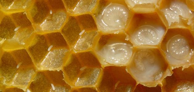 حي متاخم انقطع الاتصال خلطة غذاء ملكات النحل للرجال Dsvdedommel Com