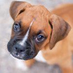 """معلومات و صور عن """" كلب البوكسر """""""