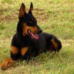 معلومات عن كلب الدوبرمان