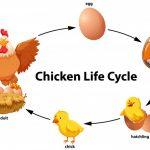 مراحل نمو الدجاج بالصور