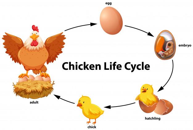 مراحل نمو الدجاج بالصور المرسال