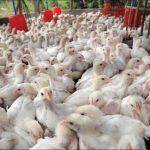 شروط ترخيص مزرعة دواجن في السعودية