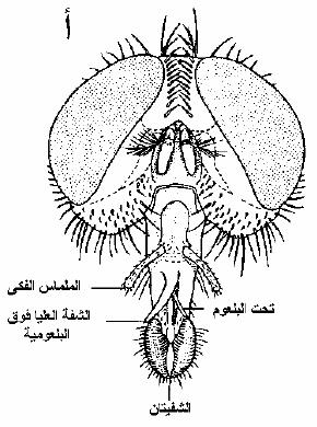 الحشرات أجزاء-الفم-الأسفنجية