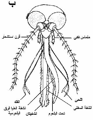 الحشرات أجزاء-الفم-الثاقبة-ا