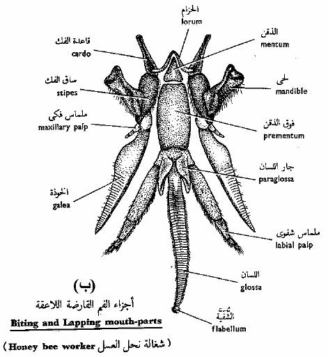 الحشرات أجزاء-الفم-القارضة-ا