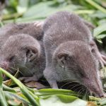 معلومات عن الفأر ذو الأنف الطويل