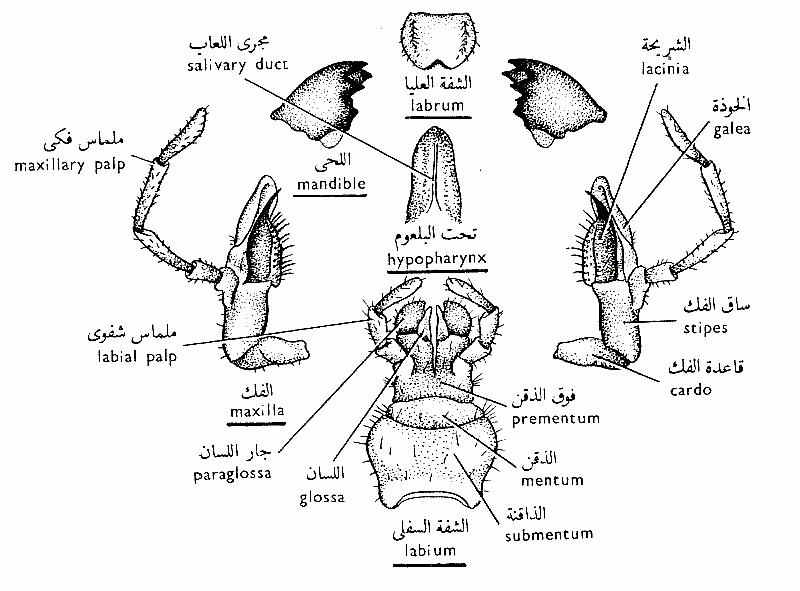 الحشرات الفم-القارض.png