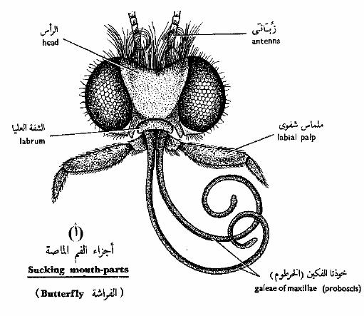 الحشرات الفم-الماص.png