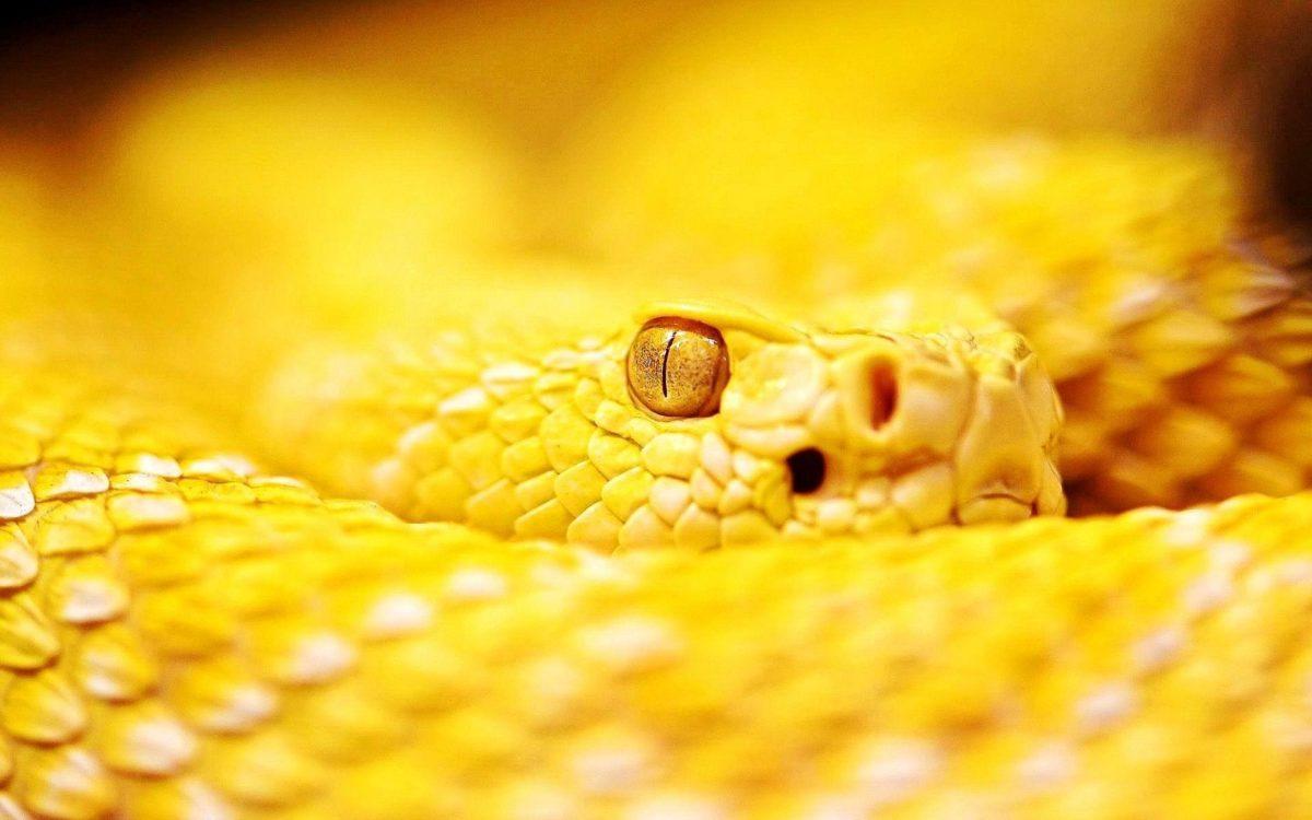 تفسير حلم الثعبان الاصفر المرسال