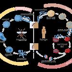 دورة حياة بلازموديوم الملاريا