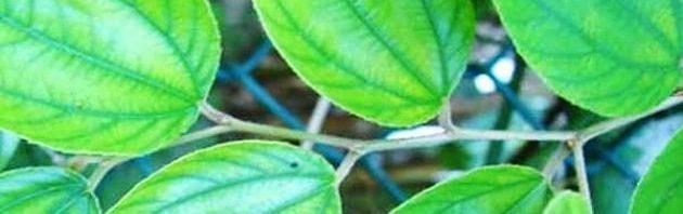 العلاج بالاعشاب 2019_طريقة استخدام السدر