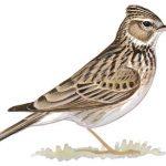 معلومات عن طائر القبرة