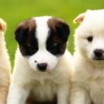 انواع الكلاب الصغيرة بالصور