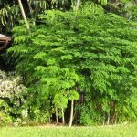 فوائد شجرة المورينجا للكبد
