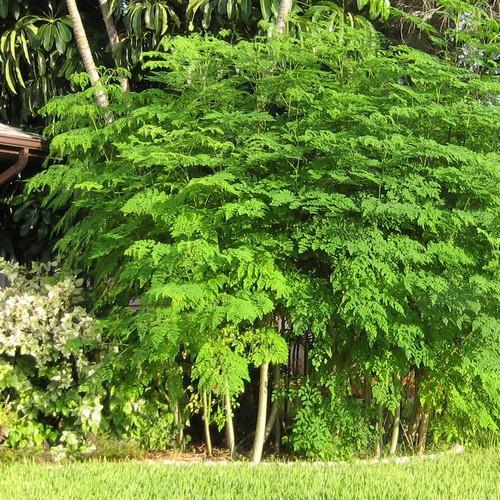 فوائد شجرة المورينجا للكبد المرسال