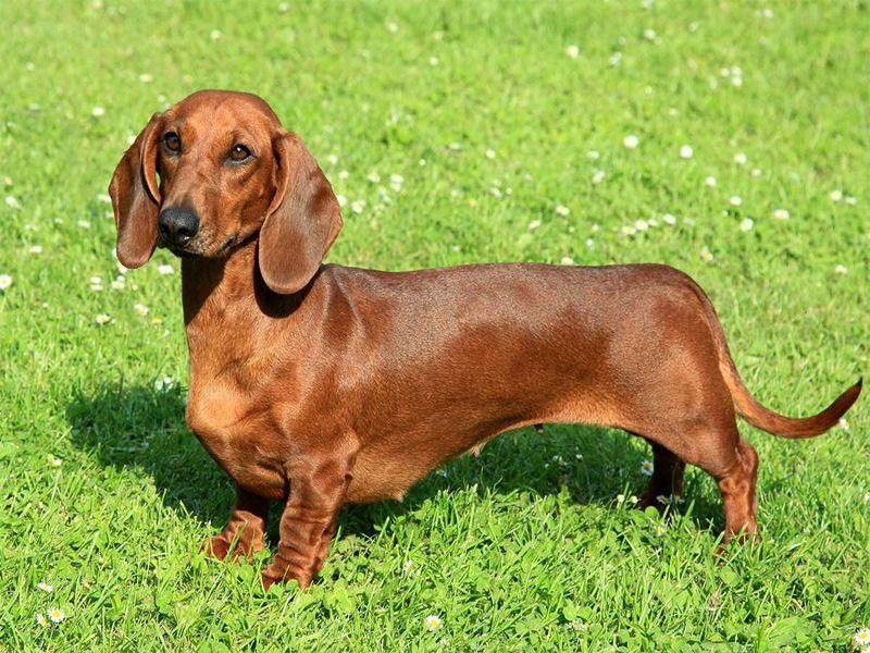 كلب داشنهند Dachshund Dog Breed