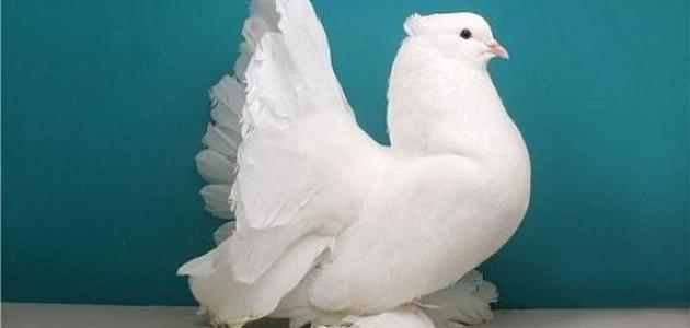 I am a pigeon who does not fly i am a pigeon who does not fly I am a pigeon who does not fly