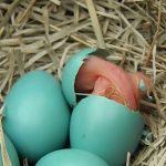 مراحل تطور بيض الكناري