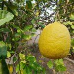 """فوائد عظيمة من فاكهة """" الترنج """" وطريقة اكلها"""