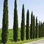 انواع اشجار السرو بالتفصيل
