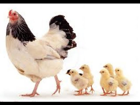 دورة حياة الدجاجة المرسال