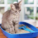 هل جرثومة القطط معدية