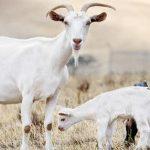 مراحل نزول الضرع في الماعز