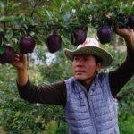 فوائد تفاح الألماس الأسود
