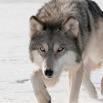 تفسير عواء الذئب في المنام