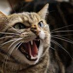 كيفية التعامل مع القطط الشرسة