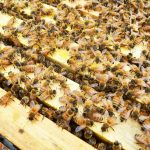 وظيفة العاملات في خلية النحل