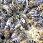 اماكن تواجد النحل الجبلي
