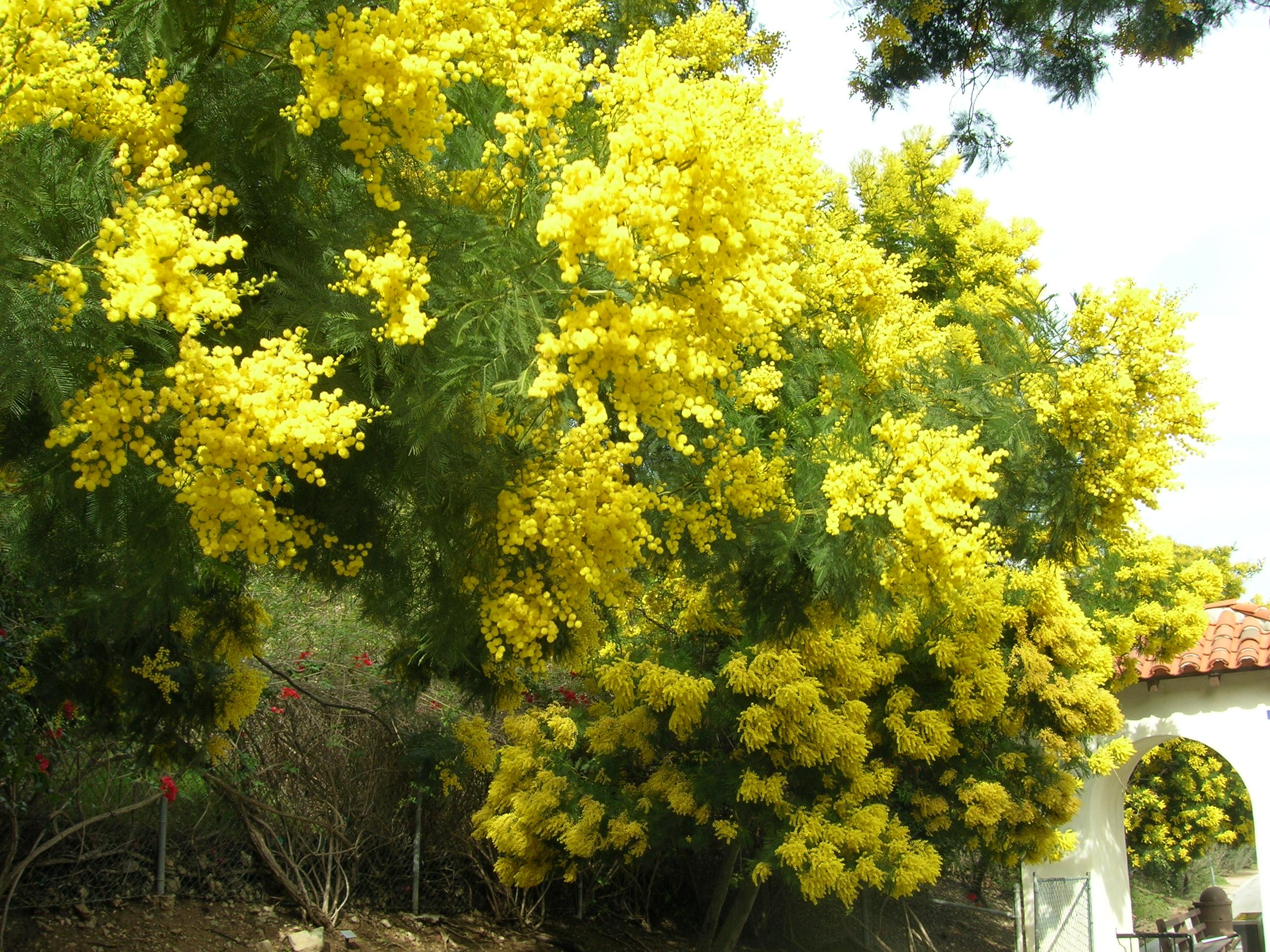 شجرة السنط