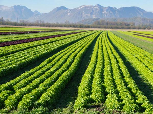 اهم المحاصيل الزراعيه في المدينه المنوره المرسال