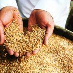 اهم المحاصيل الزراعية في نجران