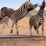السلوك العدواني عند الحيوانات