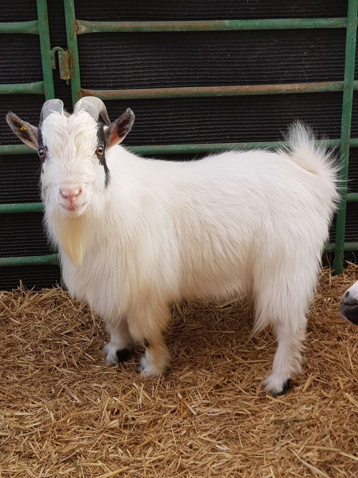معلومات عن الماعز القزم المرسال