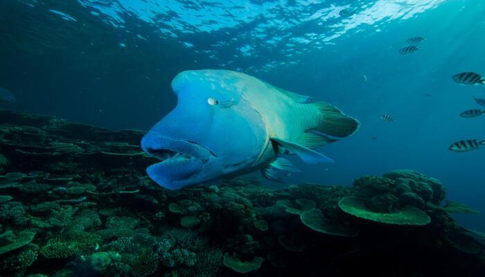 صفات سمكة ملك الشعاب المرجانية