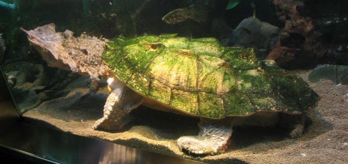 سلحفاة ماتا ماتا Mata-Mata-Turtle.jpg
