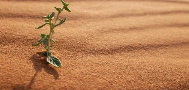 خصائص النباتات الصحراوية المرسال