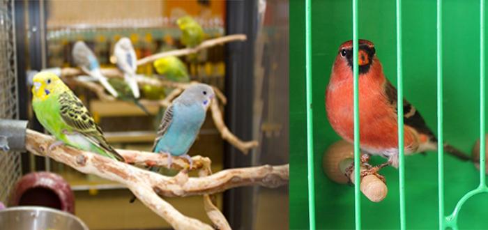 انواع العصافير المنزلية المرسال