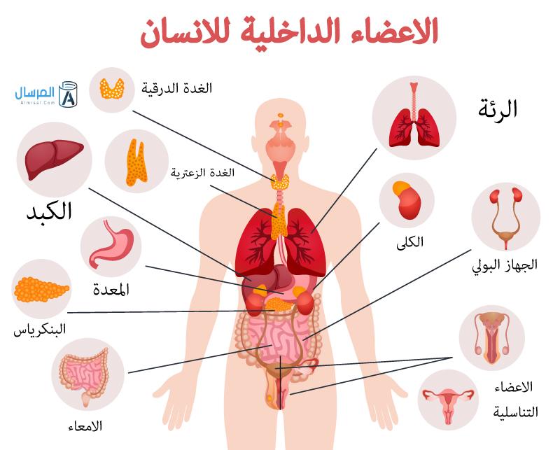 اين يقع الكبد في جسم الانسان بالصور المرسال