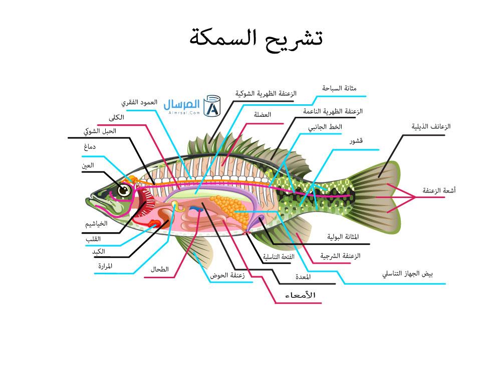 اجزاء السمكه بالصور المرسال