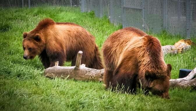 صفات الدب القارت